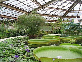 Greenhouse - Victoria amazonica (giant Amazon waterlilies) in a large greenhouse at the Saint Petersburg Botanical Garden.