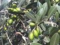 Botany Bay - Olea europaea 2.jpg