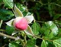 Bouton de rose sauvage 2.JPG