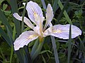 Bowl-tubed Iris (11925430).jpg