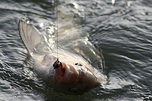Câu cá sông – Wikipedia tiếng Việt