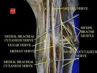 Musculocutaneous nerve - Musculocutaneous nerve on deep dissection.