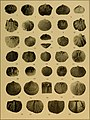 Brachiopod genera of the suborders Orthoidea and Pentameroidea (1932) (20381282506).jpg