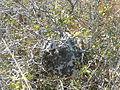 Brachygastra mellifica (5762467706).jpg
