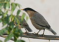 Brahminy Starlings (Sturnus pagodarum) in Display at Hodal I Picture 0113.jpg