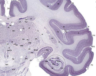Cerebral cortex - Tissue slice from the brain of an adult macaque monkey (Macaca mulatta). The cerebral cortex is the outer layer depicted in dark violet.  Source: BrainMaps.org