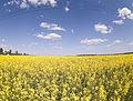Brassica napus (4626683359).jpg