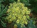 Brassica oleracea 02.JPG
