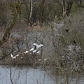 Breeding Lepelaars (Eurasian spoonbills) close together in the bush. Detail of preceeding photo - panoramio.jpg