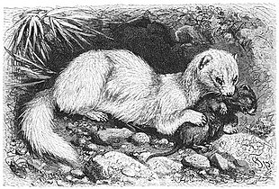 Brehms Het Leven der Dieren Zoogdieren Orde 4 Fret (Putorius furo).jpg