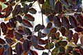 Breynia Disticha (Snow Bush) (28771346052).jpg