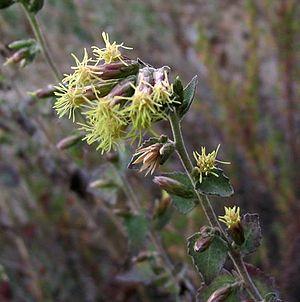 Brickellia californica - Image: Brickelliacalifornic a