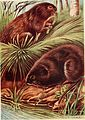 British land mammals and their habits (1911) (19795614684).jpg