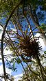 Bromélia na árvore, encontrada na Mata Cipó, derivação de Mata Atlântica-Ba.jpg