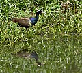 Bronze-winged Jacana I IMG 9179.jpg