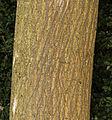 Broussonetia papyrifera MHNT Texture of the trunk.jpg