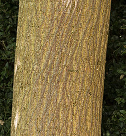 Broussonetia papyrifera MHNT Texture of the trunk.jpg
