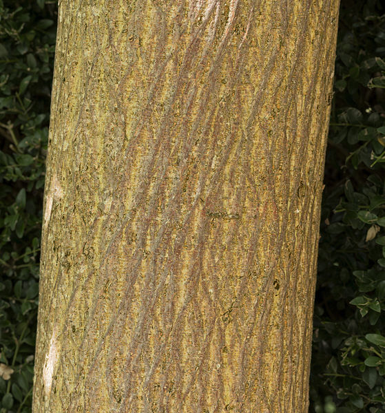 Paper Mulberry - Broussonetia papyrifera  - male  - Trunk  and bark.   Locality : L'Espicié, Vallesvilles, France.