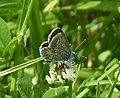 Brown Argus Aricia agestis (35244569500).jpg
