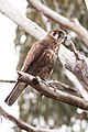 Brown Falcon (Falco berigora) (8079581820).jpg