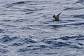 Brown Noddy (Anous stolidus) (5799662605).jpg