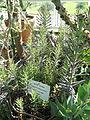 Bryophyllum delagoense - Botanical Garden in Kaisaniemi, Helsinki - DSC03703.JPG