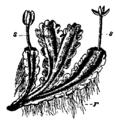Bryophyta 7.png