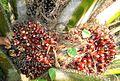 Buah kelapa sawit (46).JPG