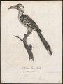 Buceros erythrorhynchus - 1796-1808 - Print - Iconographia Zoologica - Special Collections University of Amsterdam - UBA01 IZ19300099.tif