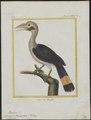 Buceros panini - 1700-1880 - Print - Iconographia Zoologica - Special Collections University of Amsterdam - UBA01 IZ19300089.tif