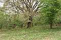 Buckland Monachorum, copse with an oak - geograph.org.uk - 1279265.jpg