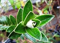 Buddleja coriacea foliage.jpg