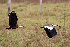 Buff-necked ibis (Theristicus caudatus) in flight composite.jpg