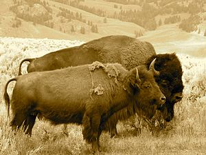 Henry Mountains bison herd - Image: Buffalo Bison Pair