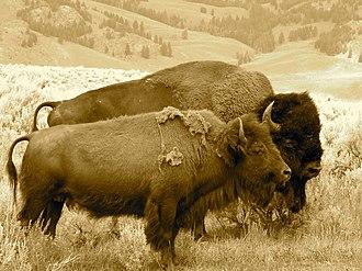 Antelope Island bison herd - Bison grazing.