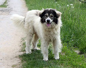 English: Bulgarian shepherd (Karakachan dog) f...