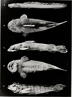 <i>Chiloglanis carnosus</i>