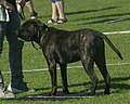 Bullmastiff brindle female.jpg