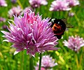 Bumble Bee On A Chive Blossom (36388434).jpeg