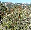 Bupleurum fruticosum matabou a la serra de l'Obac.jpg