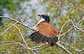 Burchell's Coucal (Centropus burchellii) (17145659988).jpg