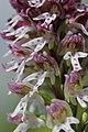Burnt-tip Orchid - Neotinea ustulata (17405391302).jpg