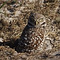Burrowing Owl (6733167477).jpg