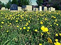 Buttercups in the Congressional Cemetery.jpg