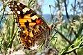 Butterfly-Hazar lake -Elazığ - panoramio.jpg