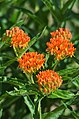 Butterfly Milkweed (41914859295).jpg