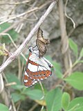 Butterfly emerging from cocoon.jpg