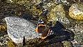 Butterfly on mountain brook stone (24178830485).jpg