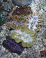 CAS Steinhart Aquarium giant clams (Tridacna spp.).jpg
