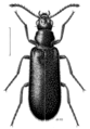 COLE Melyridae Dasytes subcyaneus.png